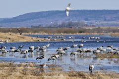 Cranes and swans. Grazing on field Royalty Free Stock Photos