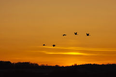 Cranes thats fly in the evening light Stock Photo