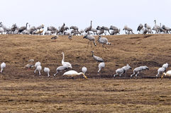 Cranes and whooper swans Royalty Free Stock Photography