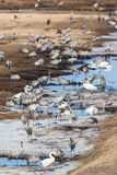 Cranes and whooper swans Stock Photography