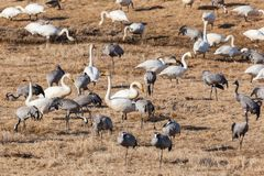Cranes and whooper swans Royalty Free Stock Photo