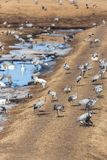 Cranes and whooper swans Stock Photo
