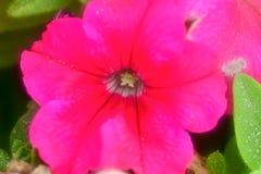 Cranesbill开花绽放桃红色花照片的宏指令关闭 免版税图库摄影