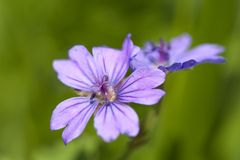 Cranesbill Royalty Free Stock Images