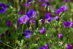 Cranesbill, Blossom, Bloom, Flower Royalty Free Stock Images