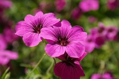 Cranesbill, Blossom, Bloom, Pink Royalty Free Stock Images