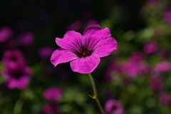 Cranesbill, Blossom, Bloom, Pink Stock Images
