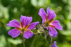 Cranesbill, Blossom, Bloom, Plant Stock Images