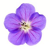 Cranesbill Close-up Royalty Free Stock Photos