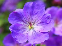 Cranesbill, Flower Blossom, Blue Royalty Free Stock Photography