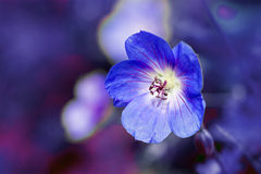 Cranesbill flower (Geranium)  against a purple blue background Stock Photo