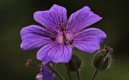 Cranesbill, Flower, Purple Flower Stock Photography