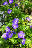Cranesbill Stock Photos
