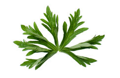 Cranesbill leaf Stock Images