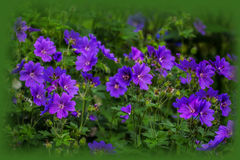 Cranesbill Royalty Free Stock Photography