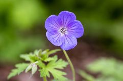 Cranesbills flowers, Geranium Rozanne in bloom, beautiful flowering plant with green leaves. In daylight stock images