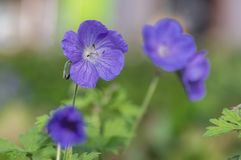 Cranesbills group of flowers, Geranium Rozanne in bloom, beautiful flowering plant with green leaves. In daylight stock images