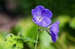 Cranesbills group of flowers, Geranium Rozanne in bloom, beautiful flowering plant with green leaves. In daylight royalty free stock image