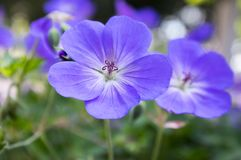 Cranesbills group of flowers, Geranium Rozanne in bloom. Flowering plant in the garden, ornamental blossoms flowering in tree shadow royalty free stock photos
