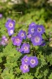 Cranesbills-Gruppe Blumen in der Blüte, Pelargonie Rozanne-Blütenpflanzen stockbilder