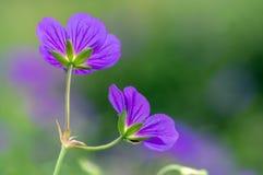 Cranesbills-Gruppe Blumen, Pelargonie Rozanne in der Blüte lizenzfreie stockbilder