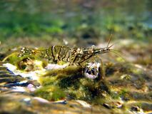 Crangon crangon - common shrimp royalty free stock photography