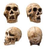 Crani umani Immagine Stock