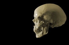 Cranial. Side view of a cranial head Royalty Free Stock Image