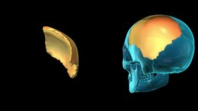 Parietal Bone - 3D MODEL ANIMATION