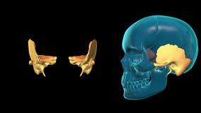 Temporal Bone - 3D MODEL ANIMATION