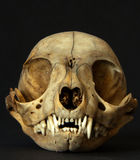 Cranio animale Fotografie Stock Libere da Diritti