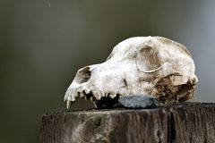 Cranio animale Fotografie Stock