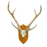 Cranio animale con il corno Immagine Stock Libera da Diritti
