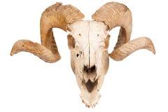 Cranio animale con il grande corno Fotografie Stock