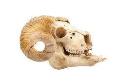 Cranio animale con il grande corno Fotografia Stock