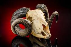 Cranio animale con il grande corno Immagini Stock