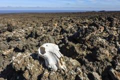 Cranio animale nel paesaggio vulcanico ostile della lava, parco nazionale di Timanfaya, Lanzarote, isole Canarie, Spagna fotografia stock libera da diritti