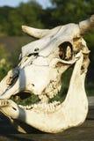 Cranio animale sulla tavola di legno, scheletro animale del manzo, natura fotografia stock