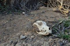 Cranio bianco del coyote in deserto Fotografia Stock