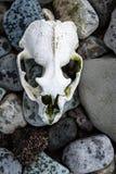 Cranio candeggiato su una spiaggia rocciosa, isole Shetland del sud, Antartide della guarnizione di pelliccia immagine stock