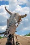 Cranio capo del toro Immagini Stock Libere da Diritti