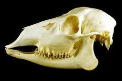 Cranio (capreolus del Capreolus) Fotografie Stock Libere da Diritti