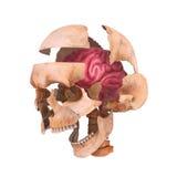 Cranio con il cervello Fotografie Stock