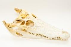 Cranio d'acqua dolce del coccodrillo. Immagine Stock