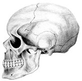 Cranio dal lato Fotografia Stock