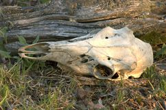 Cranio dei cervi immagini stock