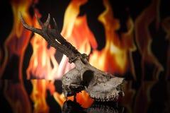 Cranio dei cervi Fotografie Stock Libere da Diritti