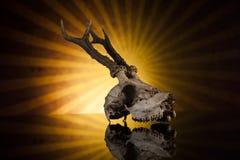 Cranio dei cervi Fotografie Stock