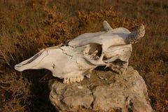 Cranio del bestiame Fotografia Stock