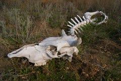 Cranio del bestiame Fotografie Stock Libere da Diritti